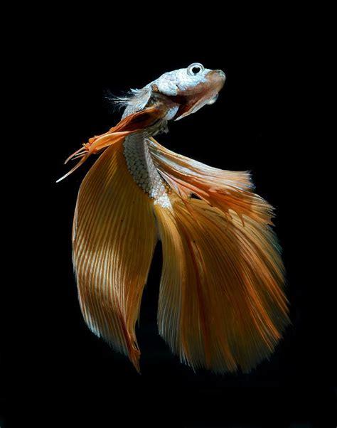 siamese fighting fish siamese fighting fish siamese fighter fish pinterest
