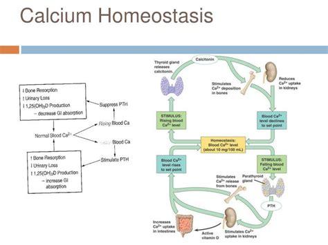 ppt calcium homeostasis powerpoint presentation id 1857341
