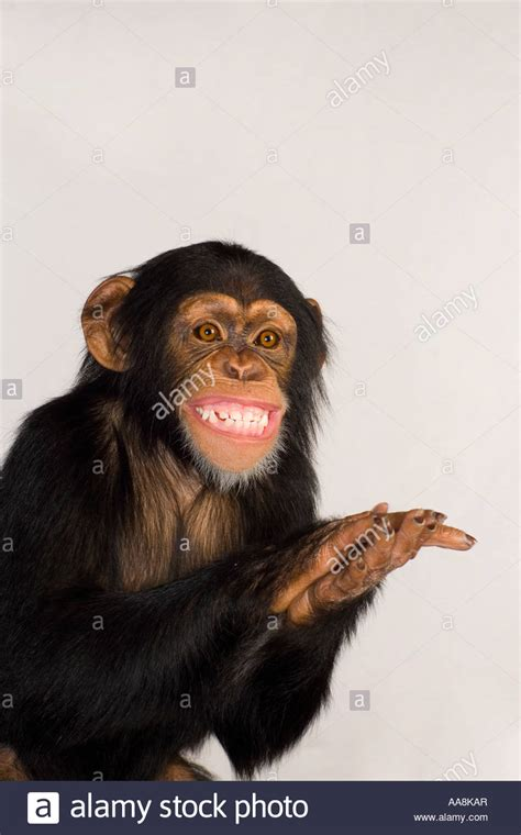chimpanzee clapping and smiling stock 12550510 alamy