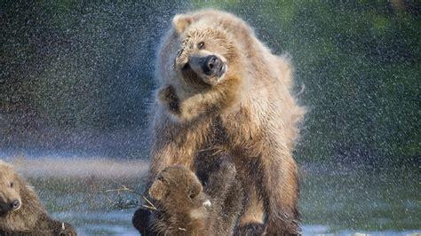 wallpaper brown bear wild animals rain  animals