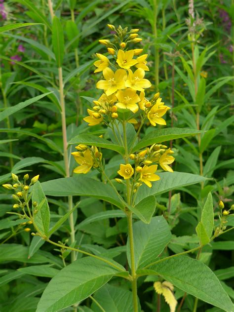 weeds with yellow flowers natureplus pernicious yellow flowering weed