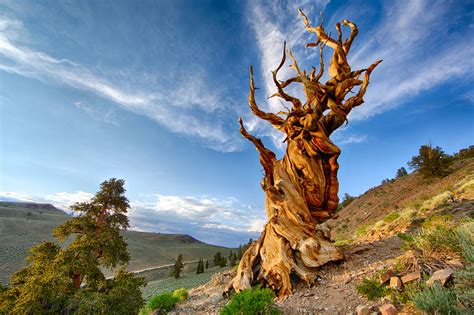 Methuselah, White Mountain, California