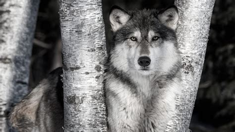 Animal Photography Wolf