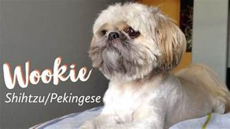 wookie the shih tzu pekingese mix youtube