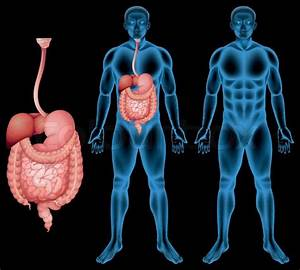 Illustration Of The Human Digestive
