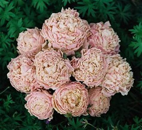 blush colored flowers blush colored peonies wedding
