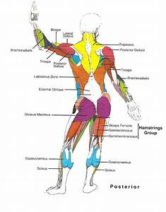 Muscles Diagrams  Diagram Of Muscles And Anatomy Charts
