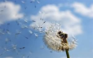 Pusteblume Schwarz Weiß Vögel : wandtattoo pusteblume sch ne deko idee f r jeden raum ~ Orissabook.com Haus und Dekorationen