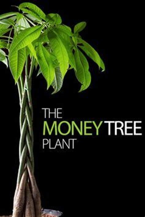 jual pachira aquatic money tree harga murah wa