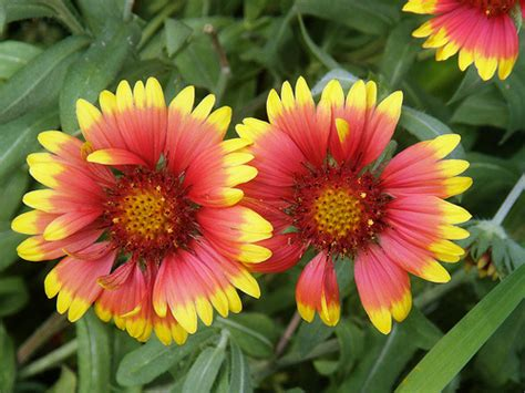 indian blanket flower seeds bulkwildflowerscom