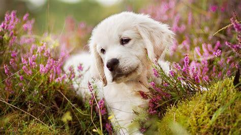 hintergrundbilder welpen golden retriever hunde gras tiere