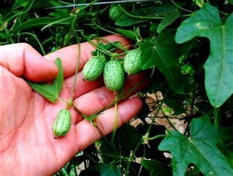 How Long Does It Take To Grow A Watermelon?