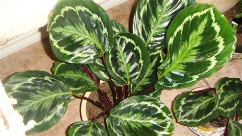 care of plant calathea roseopicta prayer plant