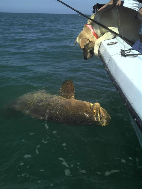 grouper goliath fishing captiva caught fish sanibel godzilla charters huge offshore barracuda north king saturday