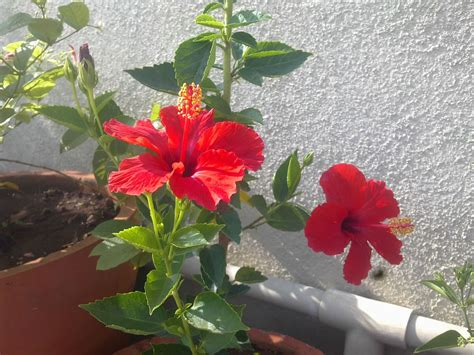 plants growing in my potted garden hibiscus