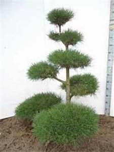 Pinus kiefern bonsai gunstig bestellen baumschule newgarden for Garten planen mit bonsai lebensbaum kaufen