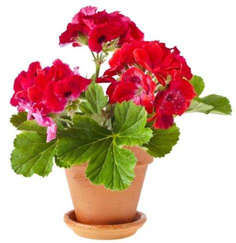 indoor flowers add some color 5 cheery easy to grow indoor flowering plants apartment therapy