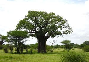 affenbrotbaum adansonia pflege anleitung
