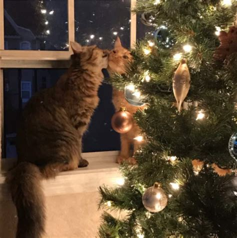 cat steals  kiss   christmas tree  love cats