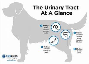 Urinary Bladder Anatomy Dog