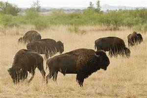 Texas bison herd will have an expanded home to roam - Pete ...