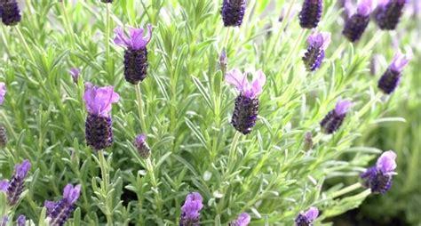 piante da fiore perenni resistenti al gelo piante da esterno resistenti al sole e al freddo con