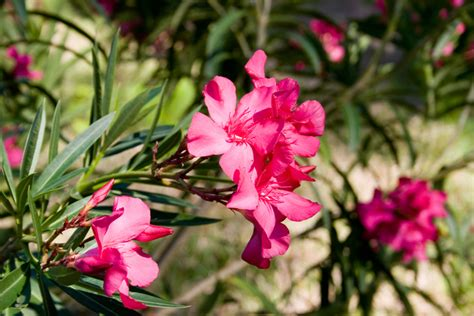 Oleander Im Garten Halten » (k)eine Gute Idee?