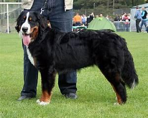 Berner Sennenhund Gewicht : berner sennenhund wikipedia ~ Markanthonyermac.com Haus und Dekorationen