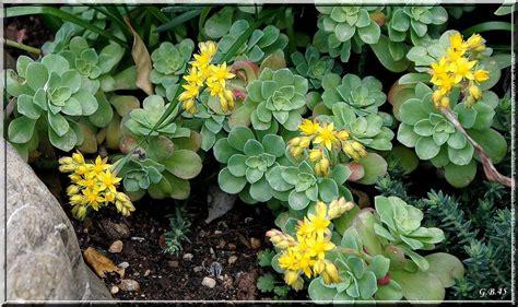plante grasse fleur plante grasse a fleur jaune pivoine etc