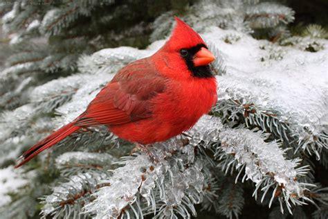 cardinal sitting  snowy spruce branch