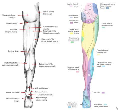 anatomy of lower limb muscles human anatomy diagram
