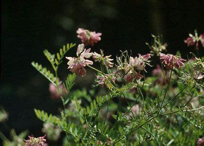 mainīgā vainadzīte - Coronilla varia L. - Augi - Latvijas daba