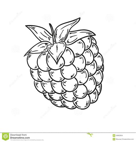 raspberry bush clipart black and white raspberry sketch stock illustration illustration of