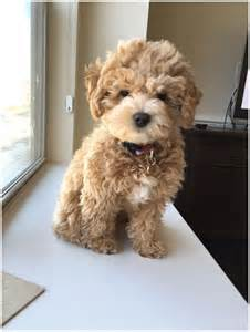 cockapoo dog puppies facts pictures breeders price