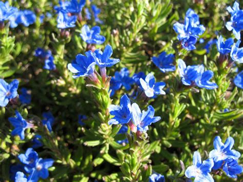 tiny blue flower tiny blue flowers free stock photo public domain pictures