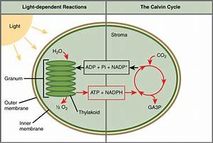 5 11c  The Two Parts Of Photosynthesis