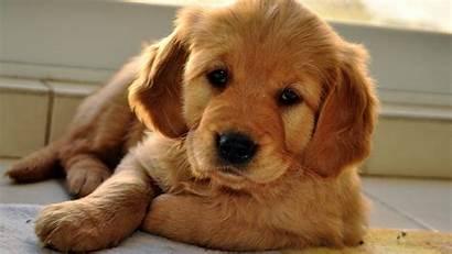 Dog Puppy Wallpapers Beige Eyes Sleepy Phone