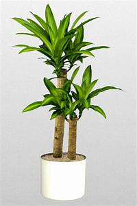 10 in Dracaena fragrans 'Massangeana'