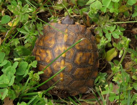 Box Turtle Shell Shedding by Shell Naturesnippets