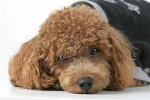 Cute Puppy Dogs: Cute Brown poodle puppy