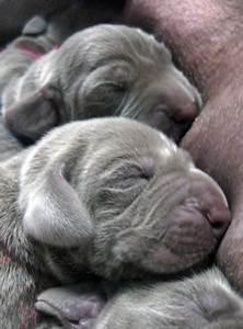 newborn weimaraner pups.PNG