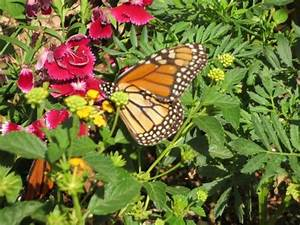 Monarch butterfly picture of desert botanical garden for Phoenix butterfly garden