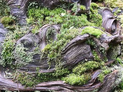 propagating moss moss gardening how to grow and care for a moss garden garden helper gardening questions and