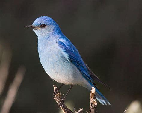 mountain bluebird state symbols usa