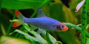 Asian Rummynose » Aquarium Hobbyist Social Networking ...