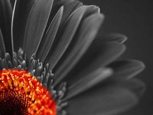 Flowers Black And White With Color Wallpapers HD   I HD Images