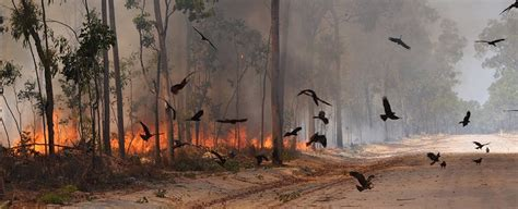 These Birds Of Prey Are Deliberately Setting Forests On Fire