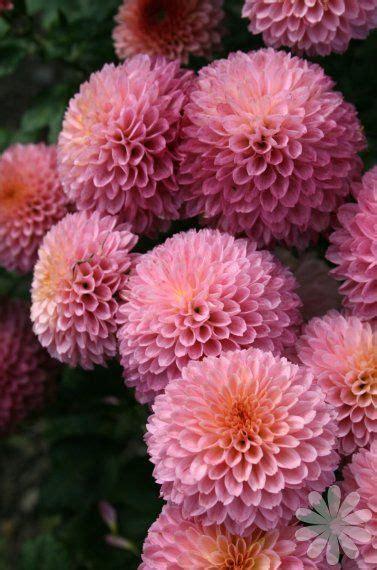 how to trim on iphone chrysanthemum purple light sun part sun zones 5 9 2125