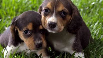 Puppy Beagle Dog Puppies Funny Dogs Cool