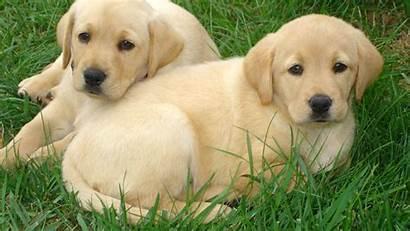 Labrador Wallpapers Dog Retriever Resolution